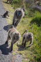 """Sulla strada per il """"Capo"""", nel fynbos pascolano tranquille famiglia di babuini"""