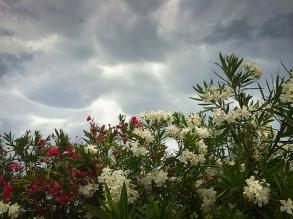 L'oleandro, pianta siracusana per eccellenza