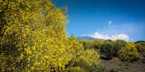 Nicolosi, salendo il monte si trovano boschi di ginestre, il profumo è buonissimo