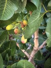 Bronte e i pistacchi!! In prossimità del paese si trovano boschi interi di questa pianta importata dagli arabi