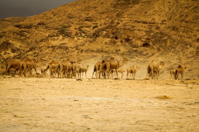 Oman, animali del deserto