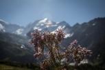 Col de Tricot fiori montani con in sfondo le glacier du Bionnasay